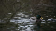 Mallard Swimming 01 - stock footage