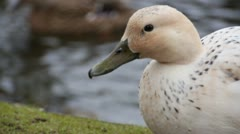 White Duck 01 Stock Footage