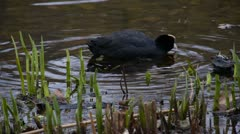 Coot Swimming 01 - stock footage