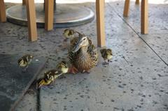 Duck and ducklings Stock Photos