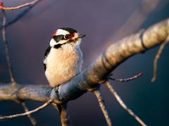 Downy Woodpecker Perching on Maple Limb - stock photo