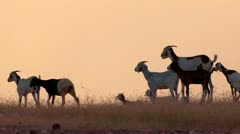 Burkina Faso: Goats in the Evening Sunlight Stock Footage