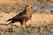 Stock Photo of Yellow-billed kite