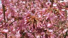 Prunus 'Okame' cherry blossoms - full screen Stock Footage
