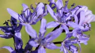 Two-leaf squill Stock Footage