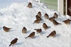 flock of birds on snow - stock photo