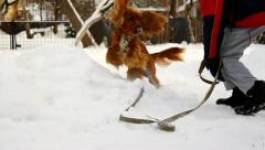 Boy playing with his dog in garden in winter, English Cocker Spaniel in snow Stock Footage