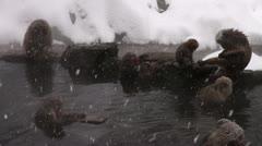 Snow Monkeys - stock footage