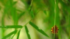 Ladybug climbing bamboo leaf up. Stock Footage