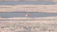 Stock Video Footage of Long-Billed Curlew