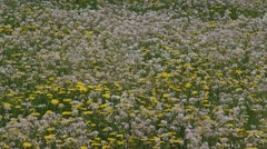 yellow and pink colored pasture Cuckoo flower and Dandelion - stock footage