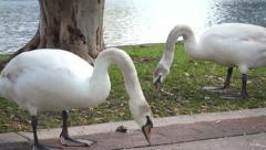 White swans eating Stock Footage