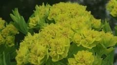 Euphorbia palustris, Marsh spurge blooming -  close up Stock Footage