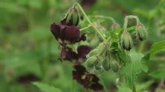Blooming Geranium phaeum , Dusky Cranesbill close up Stock Footage