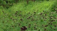 Pan + hold blooming Geranium phaeum , Dusky Cranesbill Stock Footage
