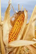 yellow corn cob - stock photo