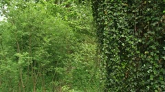 Hedera helix, Common Ivy, English Ivy hanging in forest - pan Stock Footage