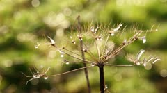 Water drops on flower Stock Footage