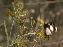 A  butterfly flies in and landing on flowers . - stock footage