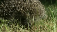 Stock Video Footage of AML-0002 Hedgehog sniffing in grass at night 1