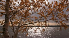 The yellow birch is shaken on a wind. - stock footage