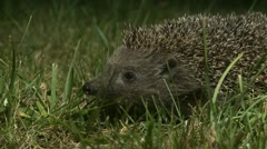 AML-0003 Hedgehog sniffing in grass at night 2 Stock Footage