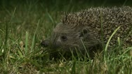 Stock Video Footage of AML-0003 Hedgehog sniffing in grass at night 2