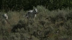 Wolves running through long grass - stock footage