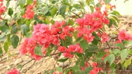 Stock Video Footage of red flowers