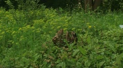 Rotten stup in Euphorbia cyparissias field, Cypress Spurge - zoom in Stock Footage