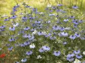 Stock Photo of lots of nigella damascena flowers