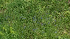 Veronica blooming in grassland Stock Footage