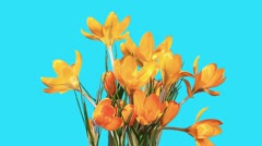Growth of yellow crocuses flower buds ALPHA matte (Crocus Grand Yellow) Stock Footage