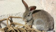 Grey fluffy rabbit Stock Footage