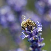 Bee pollinate a flower Stock Photos