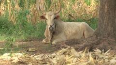 Burkina Faso: African Cow Stock Footage