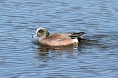 male american wigeon (anas americana) - stock photo