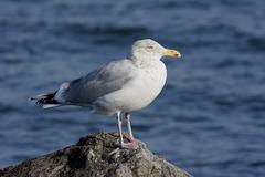 Herring gull by the ocean Stock Photos