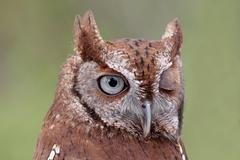 eastern screech-owl (megascops asio) winking - stock photo