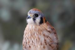 american kestrel (falco sparverius) - stock photo