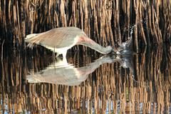 Tricolored heron (egretta tricolor) Stock Photos