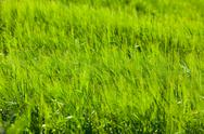 Stock Photo of green cereal field