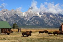 Bison herd in the grand tetons Stock Photos