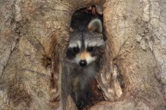 Baby raccoon in a tree Stock Photos