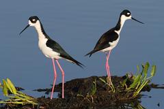 Black-necked stilts (himantopus mexicanus) Stock Photos
