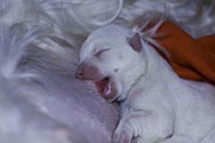 Dog puppy nursing - two days old west highland white terrier Stock Photos