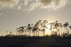 everglades pine sunrise - stock photo