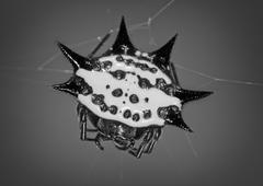 Spiny orb Stock Photos