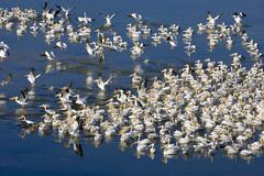 White pelicans on blue Stock Photos