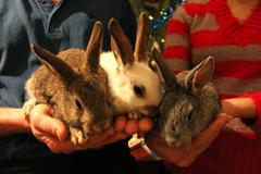 Brood of three rabbits in the hands Stock Photos